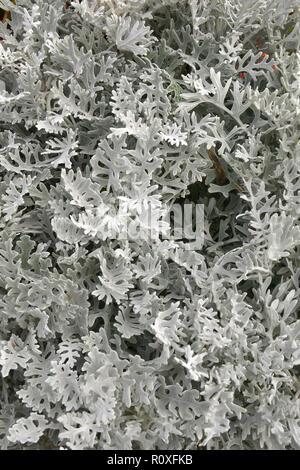 Close up of Cineraria Senecio bicolor 'Silvito' or 'Silver Dust' - Stock Image