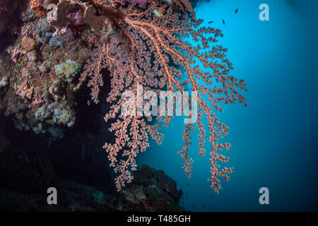 Pink soft coral under a ledge of wall reef with blue water background. Bunaken Island, Indonesia. - Stock Image