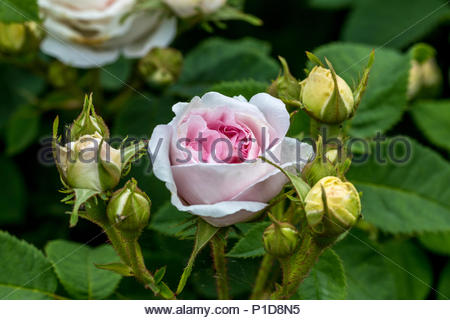 A fragrant light pink rose 'Felicite Parmentier' hybridized in 1834 - Stock Image
