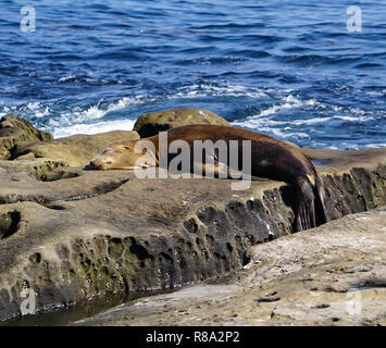 A Brown Sea Lion playing on the rocks at the ocean of the beach on the California Coast - Stock Image