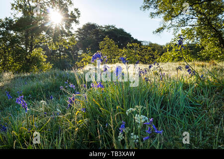 The Early Morning Sun Melting Frost on Bluebell and Pignut Flowers, Upper Teesdale, Moor House National Nature Reserve, County Durham, UK - Stock Image