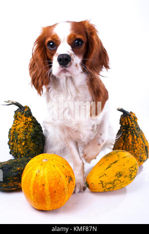 Cute cavalier king charles spaniel dog puppy on isolated white studio background. Dog puppy with pumpkins pumpkin - Stock Image