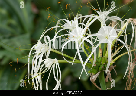 Spider Lily (Hymenocallis sp.), flowers. - Stock Image