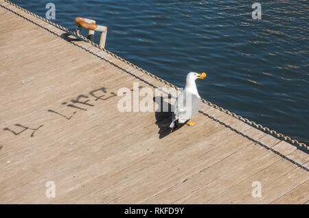 Seagull, yellow-legged gull, on a wooden deck, with piece of bread, Malaga, Spain. - Stock Image
