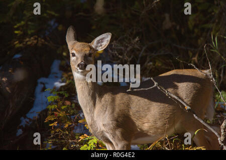 Deer in Winter Canada Wild Scenic Photo - Stock Image