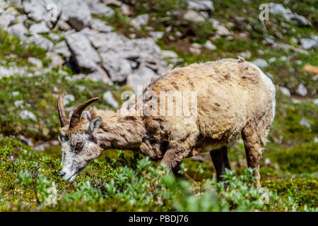 A mountain goat grazing on the summit of Parker Ridge in Jasper National Park in the Canadian Rockies. - Stock Image