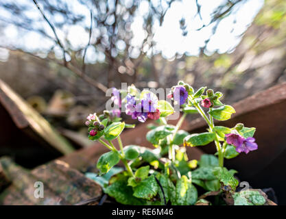 Wareham, UK. Sunday 20th January 2019. Flowers come out unusually early on a sunny day in the middle of January 2019. Credit: Thomas Faull/Alamy Live News - Stock Image