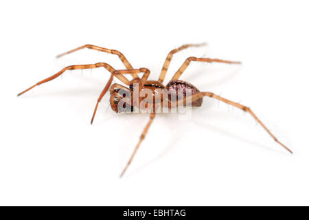 A male sheetweb weaver spider (Stemonyphantes lineatus) on white background. The sheetweb weavers are part of the - Stock Image