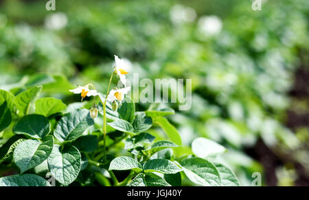 Fresh green organic potato plant growing in a farm or garden field with intentional focus blur - Stock Image