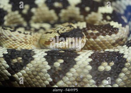 Rattlesnake - Stock Image