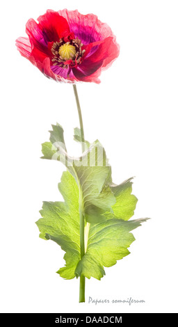 Opium poppy (Papaver somniferum) flower and leaves on the white background July England UK Europe - Stock Image