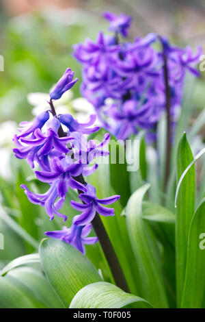 Hyacinths in the garden. - Stock Image