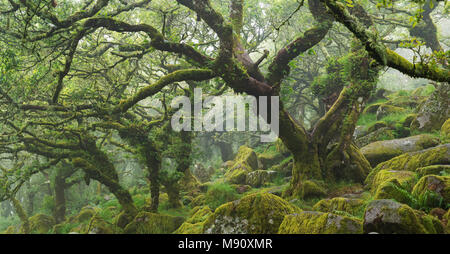 Twisted, moss covered trees in the mysterious Wistman's Wood in Dartmoor National Park, Devon, England. Summer (July) 2017. - Stock Image