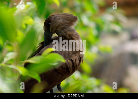 Hammerkop feather grooming in a tree - Scopus umbretta (Southern Africa) - Stock Image