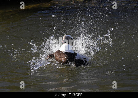 A male Long-tailed Duck (Clangula hyemalis) taking a bath in a lake in Southern England - Stock Image