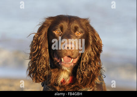 Domestic Dog, Working Cocker Spaniel type, portrait, photographed at Aldeburgh, Suffolk, England, Dec 2015 - Stock Image