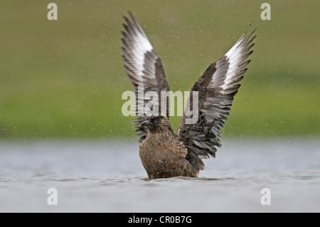 Great skua or bonxie (Stercorarius skua) adult bathing in freshwater loch. Sheltand Isles. June. - Stock Image