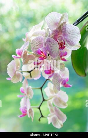 Phalaenopsis - Moth orchid - Stock Image