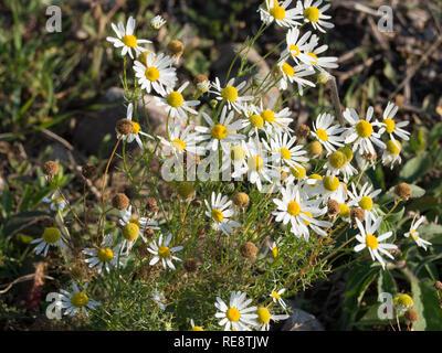 Medicinal herb chamomile - Stock Image
