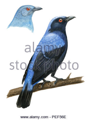 elfenblauvogel irena puella - Stock Image