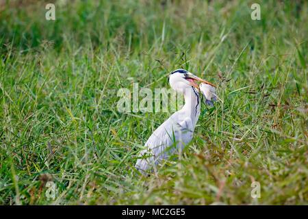 Grey Heron Ardea cinerea with fish - Stock Image