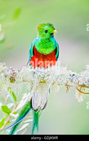 A male Resplendent Quetzal in a wild avocado tree in the Talamanca Mountains of southern Costa Rica. - Stock Image