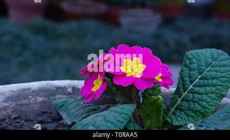 Garden pink purple flowers - Stock Image