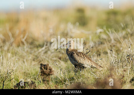 Eurasian Curlew, Latin name Numenius arquata, standing among rough moorland terrain in the North York Moors National - Stock Image