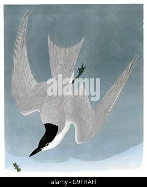 Gull-billed Tern, Sterna nilotica, birds, 1827 - 1838 - Stock Image