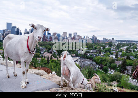Goats eating up weeds in a Calgary park as part of the city's targeted grazing plan for invasive weed species management using environmentally friendl - Stock Image