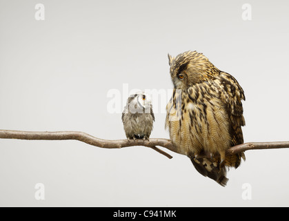 Scops and Eagle Owls sitting together on a branch looking at each other - Stock Image