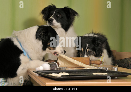 Three Border Collies making biscuits, one dog pulling the dough - Stock Image