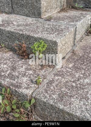 Weeds (unidentified Euphorbia) growing out of cracks in urban surroundings. Metaphor for the weedkiller Roundup / Glyphosate. - Stock Image