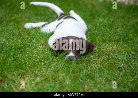 A 10 week old English springer spaniel puppy plays happily in the garden. - Stock Image