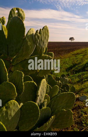 Prickly pear - Stock Image