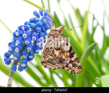 Painted lady butterfly resting on a grape hyacinth - side view - Stock Image