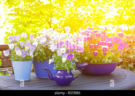 Purple, violet and blue pansy flowers in 3 different pots on a balcony table in bright sunlight, copy space, background template - Stock Image