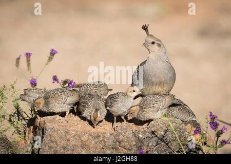 USA, Arizona, Amado. Female Gambel's quail with chicks. Credit as: Wendy Kaveney / Jaynes Gallery / DanitaDelimont.com - Stock Image