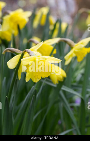 Narcissus in an English garden. - Stock Image