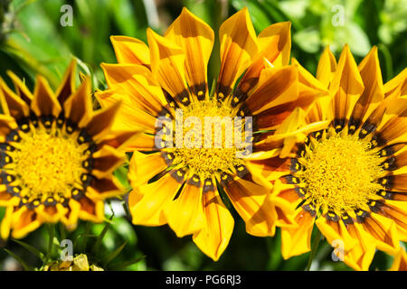 Yellow and brown Gazania Rigens flowers growing in Lower Austria - Stock Image
