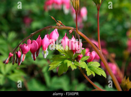 Dicentra spectabilis close up of flowers - Stock Image