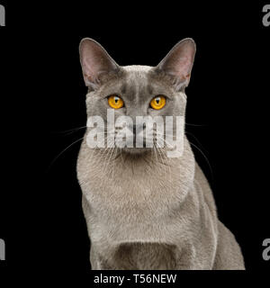 Portrait of Gray Cat Stare in Camera on isolated black background - Stock Image