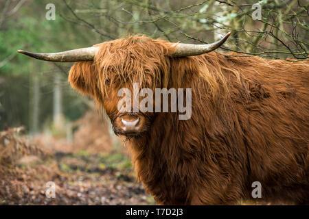 Highland Cow looking at the camera, Snowdonia National Park, North Wales - Stock Image