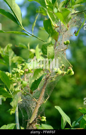 spider webs wrapped around the branches of a small tree in a garden zala county hungary - Stock Image