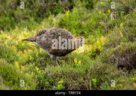 Red Grouse male with bright red eyebrow during the nesting season.  Stood in natural moorland habitat, Scientific name: Lagopus lagopus. Landscape - Stock Image