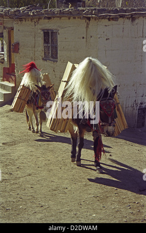 Heavily load mules carrying wooden boxes in Jharkot village on Annapurna circuit Nepal Himalayas - Stock Image