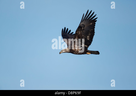 Bald Eagle (Haliaeetus leucocephalus) in flight showing still splotchy plumage. - Stock Image