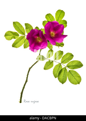 Rugosa rose = Japanese rose = Ramanas rose (Rosa rugosa) flower and leaves on the white background July England - Stock Image