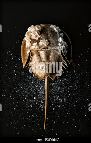 American Horseshoe Crab, Limulus Polyphemus, Leach 1819, is adorned with barnacles. The ancient marine arthropod is sometimes called a living fossil. - Stock Image