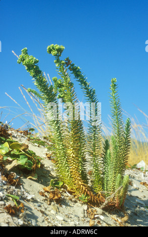 Sea Spurge Euphorbia lathyris on the edge on sand dunes - Stock Image